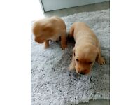 Fox Red Labour puppies