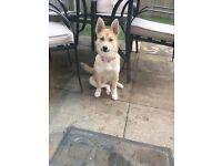Pomsky puppy blue eyes 5 months old