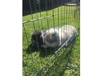 2 lovely, bonded rabbits, plus hutch and run. 5* home only! Not to be separated!