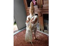 Shamo chicken not Aseel