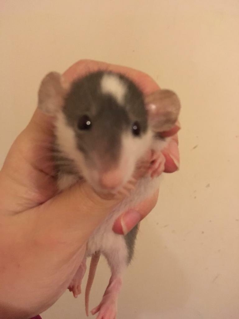 Dumbo rats | in Hartlepool, County Durham | Gumtree