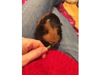 a young guinea pig