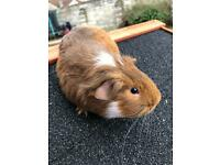 2 x 5 month old male guinea pigs