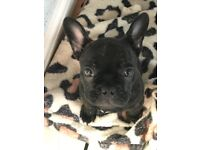 10 week old French bulldog male