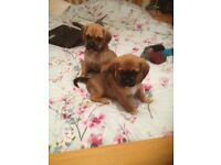 puggle puppies (beagle x pug)