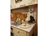Ginger male cat for sale