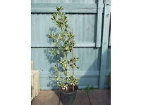 holly tree garden plant