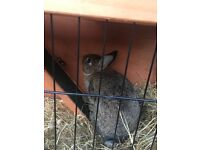 Brown rabbit with hutch