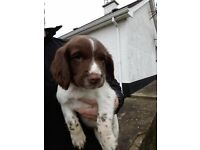 English Springer Spaniel pups puppies **2 REMAINING** beagle Labrador terrier pointer setter terrier