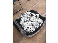 Dalmatian puppies Pedigree now reduced