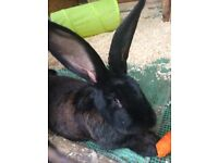 Giant continental rabbits for sale (me different ages)