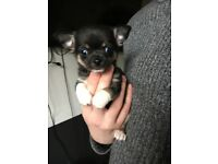 Tri coloured smooth coat chihuahua puppies