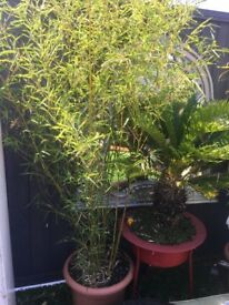 Large Bamboo Plant London - Huge Outdoor Bamboo Tree / Plant