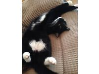 Black and white cat missing Dungannon (Gortmerron link rd area) please contact if any info