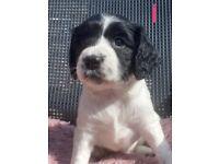 4 beautiful Sprocker spaniels puppy's