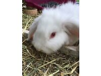 beautiful white rabbit for sale