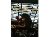 1 year old alexandrine parrot for sale