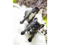 Beautiful frenchies for sale