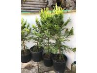 Japanese Cedar trees for sale