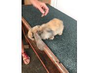 Rabbits baby lops