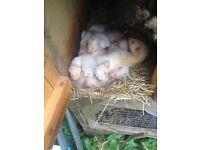 Ferrets kits