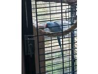2 ringneck parrots for sale