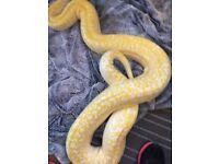 Albino Granite Burmese Python F