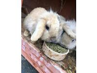 Rabbits, hutch and run for quick sale