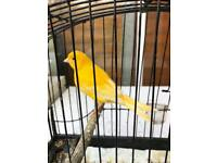 Lovely singing male canary