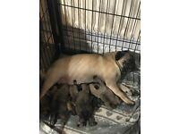 Beautiful chunky kc reg pug puppies for sale