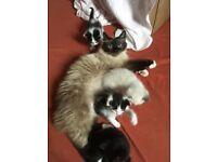 Birman x Black moggy kittens for sale