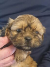 ShihTzu pups for sale 2 brown boys and 1 black girl left
