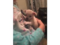 Beautiful Female chihuahua puppy - last one left