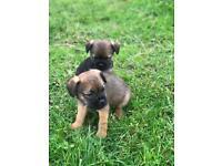 Beautiful kc reg border terrier pups