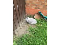 2 female rabbits free to good home