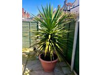 Large Potted Garden Plant for Sale