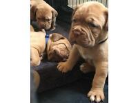 Dogue de Bordeaux puppies for sale
