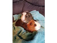 2 boy guinea pigs 2 years old