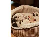 4 Beautiful KC Reg Pug Pups