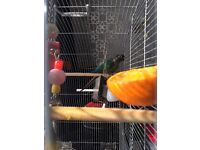 Male Conure (no cage)