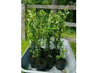 Pyracantha Hedging Evergreen Shrub White Flowers / Red Berries 40cm to 50cm Tall Potted