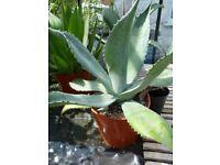 Agave succulent plants