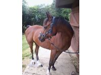 14hh Arab mare FOR LOAN