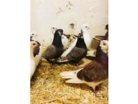 Roller pigeons for sale