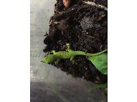Baby Phelsuma grandis