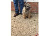 Border terrier puppy's for sale
