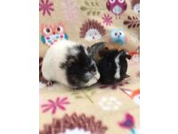 **GUINEA PIGS** Pretty Guinea Pig female pair!!