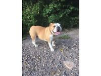 2 yrs old female English Bull Dog for forever home