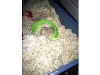 Male Dwarf Hamster