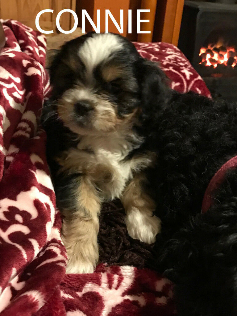 Cavachon Shih Tzu Small Breed Puppies For Sale Scunthorpe In